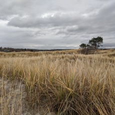November 23 2020 Gloucester Mass beach grass tree ©c ryan
