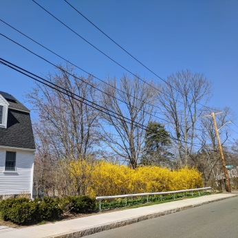 2021 April 10_Forsythia Gloucester Mass photo copyright © catherine Ryan (1)