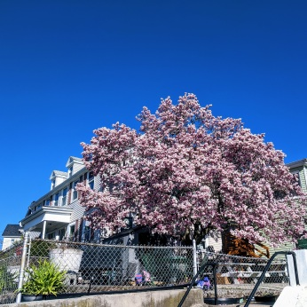 Gloucester Mass. mature magnolia tree _ Angle Washington & Western Ave_2021 April 23 photo copyright © Catherine Ryan (1)