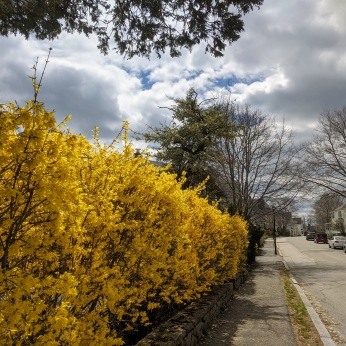 Forsythia Manchester Massachusetts 2021 April 18 photo copyright Catherine Ryan