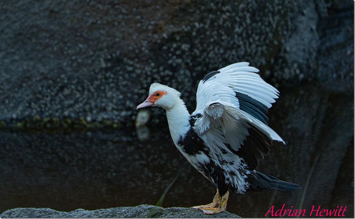 Duck-Gull1