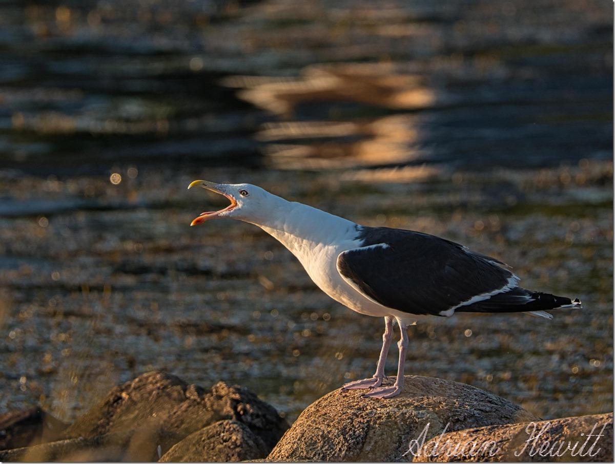 Sea Gull at Dusk